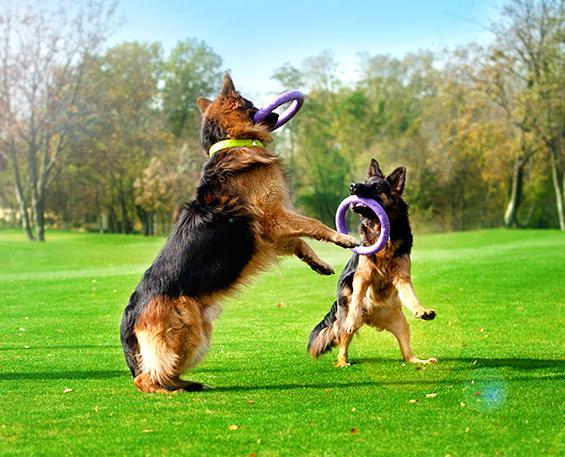 Случаются ли драки, если играть ПУЛЛЕРОМ в компании из нескольких собак?