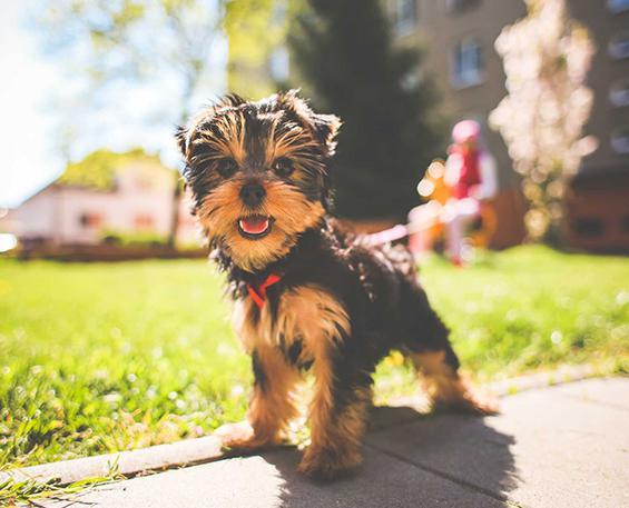 Выбор ПУЛЛЕРА для щенка